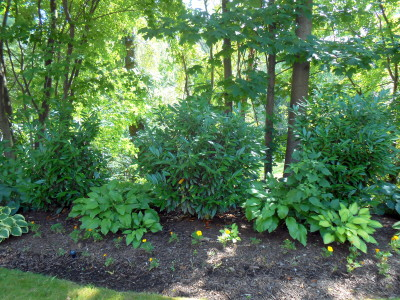schip laurel, shade tolerant plants, deer resistant plants, northeast zone plants