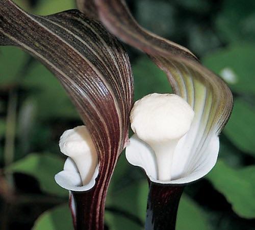 Shade tolerant & deer resistant plants