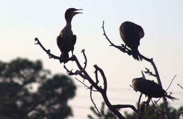 black nesting birds